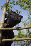 Cow in shelter Royalty Free Stock Image