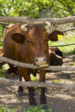 Cow in shelter Stock Photos