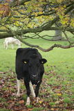 Cow sheltering under a tree Royalty Free Stock Images