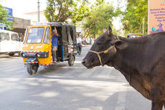 Cow at the Side of the Road in India Royalty Free Stock Images
