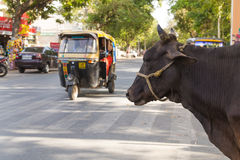 Cow at the Side of the Road in India Royalty Free Stock Photos