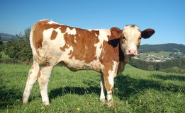 Cow from Side View. In wonderful austrian landscape Royalty Free Stock Photos