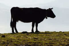 Cow silhouette in a grass field, and moisture in the background Stock Photos