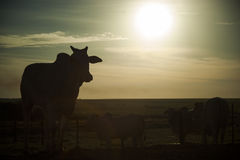 Cow silhouette at sunset. Cattle ranch. Stock Photo