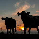 Cow silhouette. Two silhouettes of cows at sunset Stock Photography