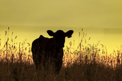 Cow silhouette with yellow sunset background Royalty Free Stock Images