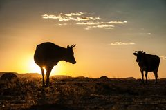 Cow silhouettes in the sunset. Cow silhouettes in the evening sunset Royalty Free Stock Images