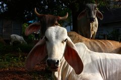 Cow sit and stand stock image