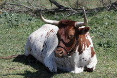 Cow. Sitting in field in Washington County Texas Stock Image