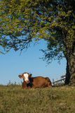 Cow sitting on grass under a tree Stock Image