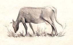 Cow . Sketch. hand painted Pencil drawing Royalty Free Stock Photo