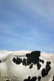 Cow skin. Part of a black and white cow skin in front of blue sky background Stock Images