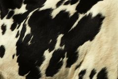 Cow skin Stock Photography