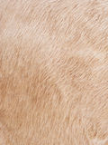 Cow skin background Stock Photos