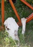 Cow Skull 1. A cow skull and leg bone sit in the grass under an old horse-drawn wagon wheel Stock Photography