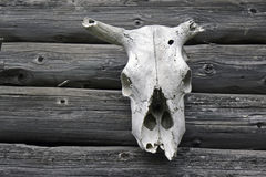 Cow skull Royalty Free Stock Photo