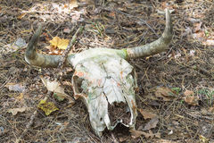 Cow skull Stock Images