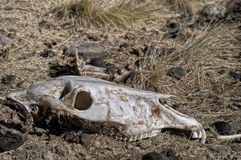 Cow Skull. In dessicated ground Royalty Free Stock Image