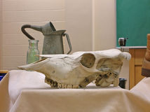 Cow Skull. A skull of a cow kept in a classroom for studies royalty free stock photo