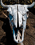Cow skull alberta canada. Cow skull on wood Stock Image