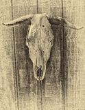 Cow Skull with Bullet Hole. Rustic cow skull hanging on textured wall -  in black and white. Bullet hole in skull Royalty Free Stock Image