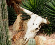 Cow Skull And Cacti. Bleached cow skull with cactus varieties royalty free stock images