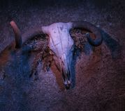Cow skull in the dark. With red and blue lights royalty free stock image