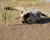Cow skull in the desert. A cow skull sitting on the sand in the desert Royalty Free Stock Images