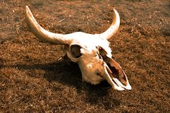 Cow skull on dried out grass depecting death from climate change. Close uo of Cow skull on dried out grass depecting death from the impact of climate change stock photos