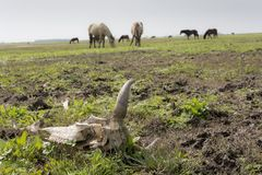 Cow skull in foreground with horse animals in meadow at backgrou. Nd Stock Photo