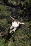 Cow skull in the grass in the Antisana Ecological Reserve, Ecuador Royalty Free Stock Images
