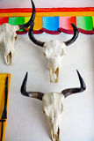 Cow skull hanging Royalty Free Stock Photo