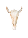 Cow skull with horns Stock Images