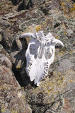 Cow skull with horns in mountain Stock Images