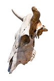 Cow skull Stock Image
