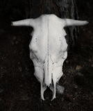 Cow skull isolated on black Royalty Free Stock Photos