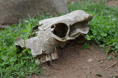 Cow Skull. A cow skull laying on the ground Stock Image