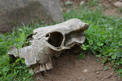 Cow Skull. A cow skull laying on the ground Royalty Free Stock Images
