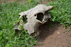 Cow Skull. A cow skull laying on the ground Royalty Free Stock Photos