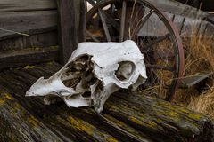 Cow Skull. A cow skull lays abandoned next to some ruins Stock Image