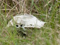 A cow skull lying in grass. On an abandoned meadow royalty free stock image