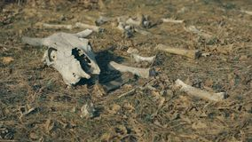 Cow skull lying on the ground. A cow skull is lying on the ground surrounded by bonesAutumn. Still shot stock video footage