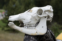 Cow skull on a pole outdoors Stock Photos