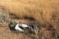 Cow skull on the Prairie Savane Stock Photo