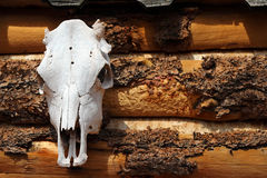 Cow skull on side of log building Royalty Free Stock Images