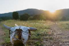 Cow skull at sunset Stock Images