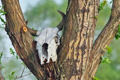 Cow skull. Bones in nature. Bones in nature. Cow skull in a tree Stock Images