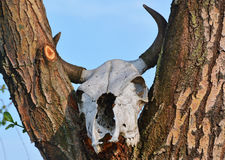 Cow skull Royalty Free Stock Image