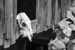 Cow skull in Utah Ghost Town Stock Photography