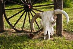 Cow Skull by Wagon wheel. White cow steer skull next to wagon wheel royalty free stock photos
